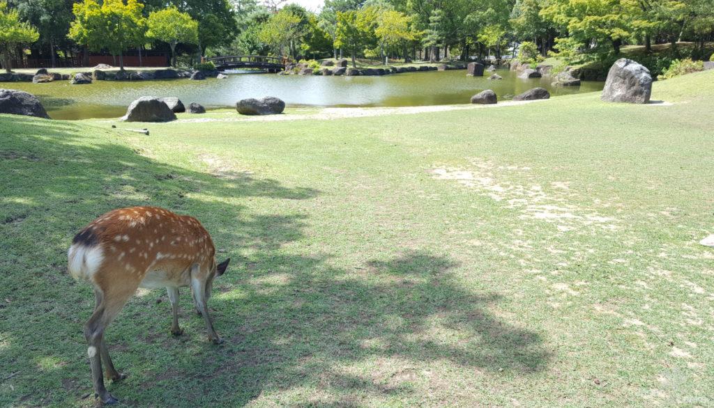 Shikahirsch an einem Teich im Nara Park