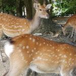 Sika Hirsche im Nara Park
