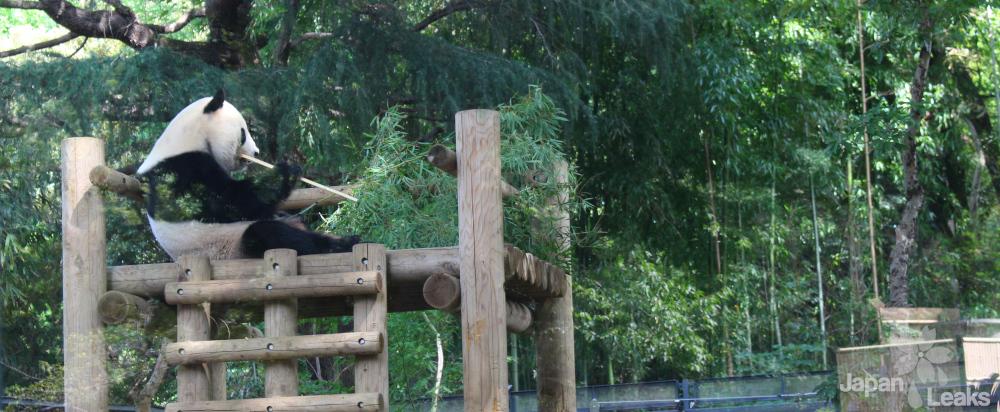 Der Panda ist der Star des Ueno Zoos.