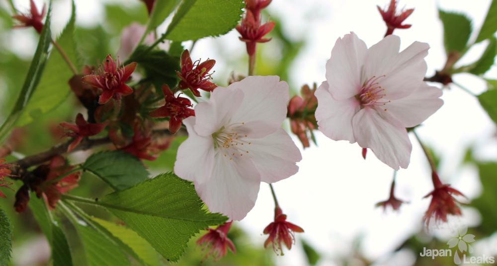Nahaufnahme von Kirschblüten.