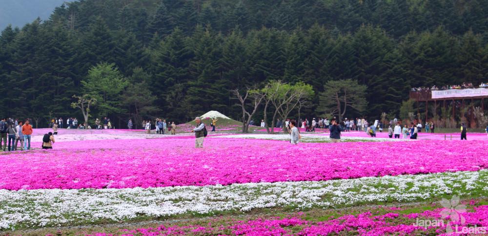 Foto der Blumenfelder beim Shibazakura fest.