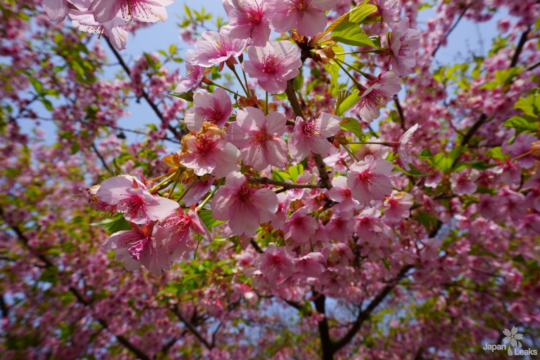 Anfang der Kirschblüten in Yoshinoyama.