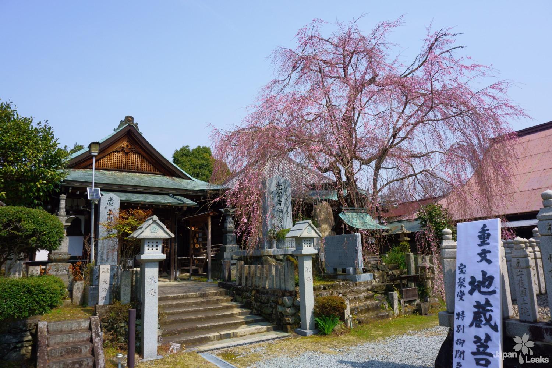 Sakuramoto-bo Tempel mit einem blühenden Kirschbaum.