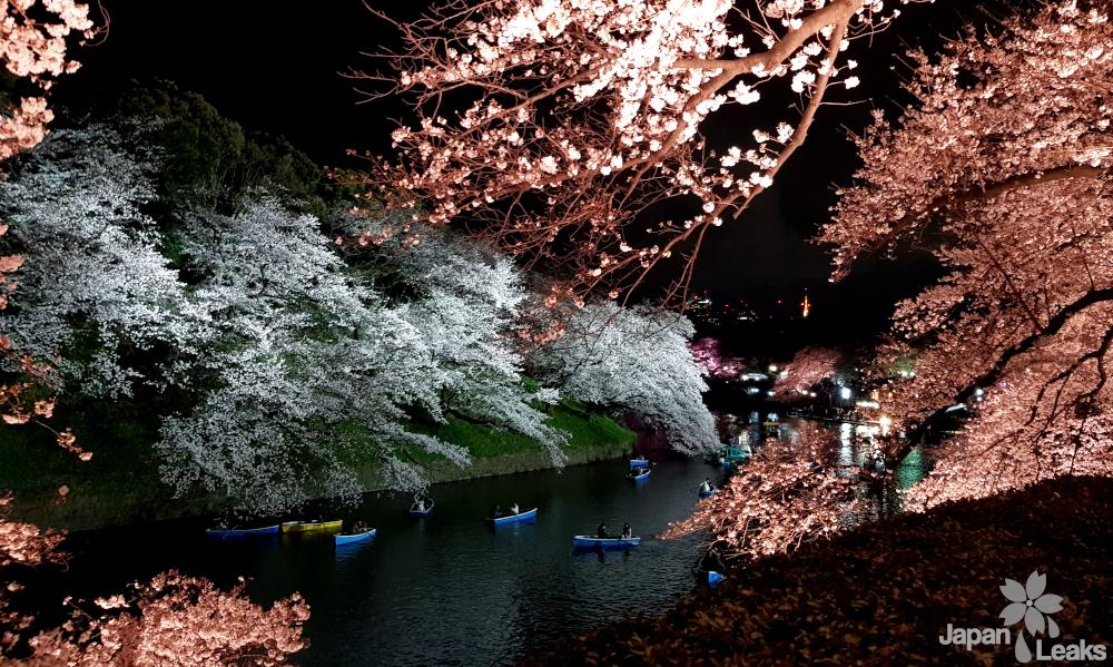 Foto des Flusses und der Kirschblüten bei Nacht.