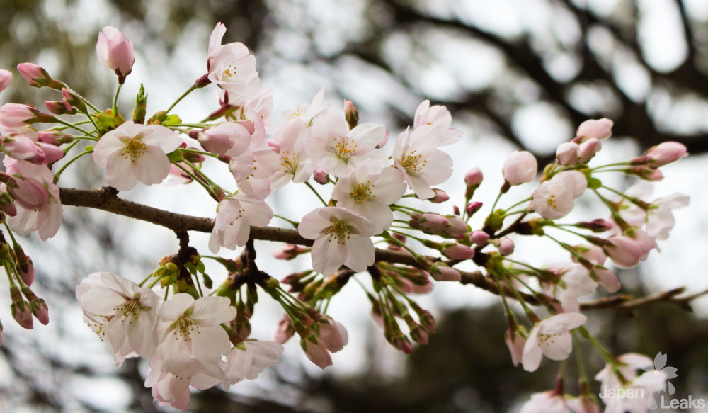 Ein Zweig voller Kirschblüten in Japans Park.