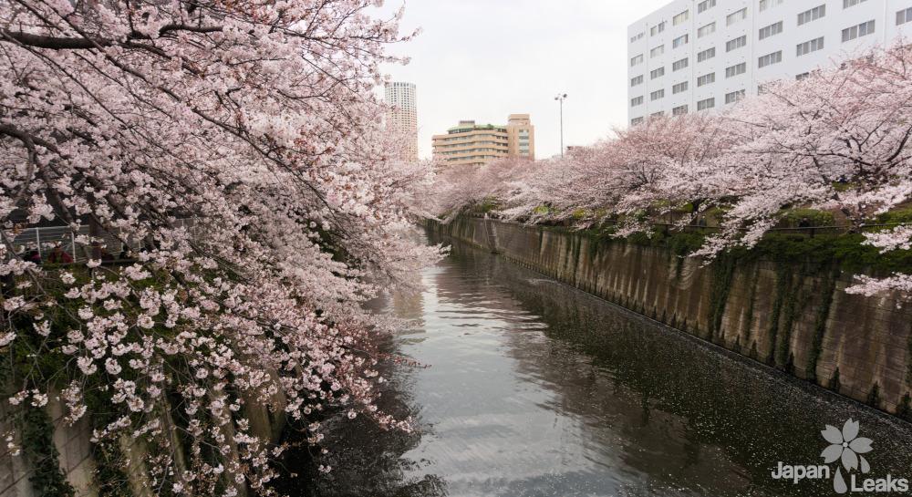 Foto des Flusses und der Kirschbäume in Meguro.