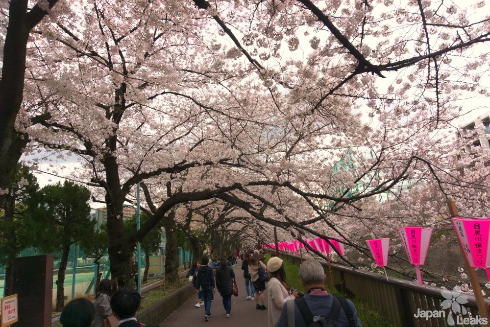 Foto der Kirschbäume und Laternen.
