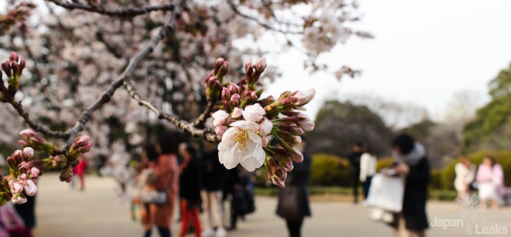 Nachaufnahme Kirschblüten.