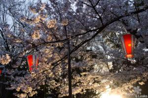 Ueno Park am Abend mit Kirschblüten