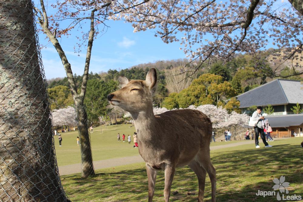 Foto eines entspannten Hirsches unter einem Kirschbaum.