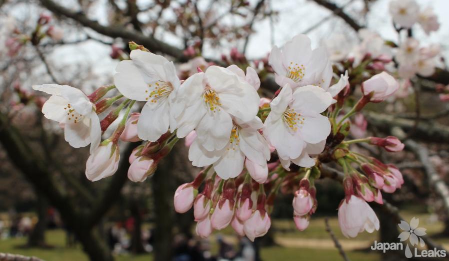 Nahaufnahme eines Astes mit Kirschblüten und Knospen.