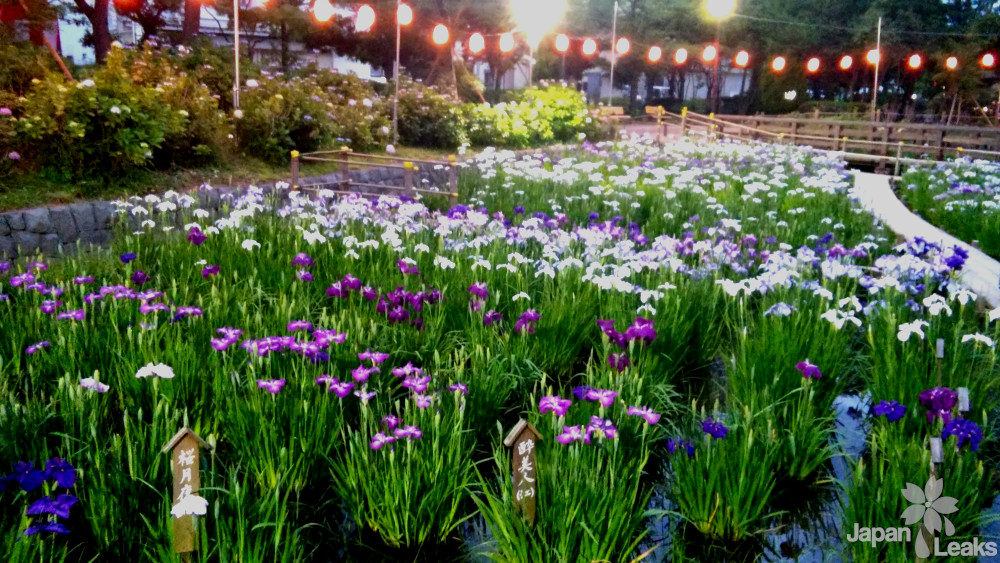 Schwertlilien im Shobunuma Park.