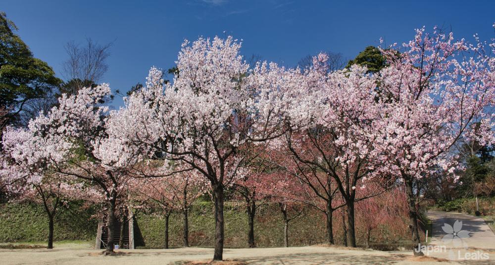 Kirschbäume zu Beginn der Blüte.
